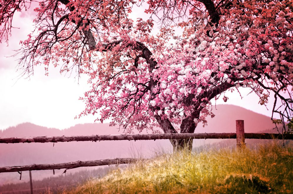 Kirschblüte, Baum in Blüte, Natur, Entspannung, Stille